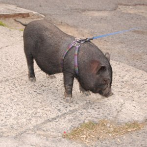 cerdo-vietnamita1
